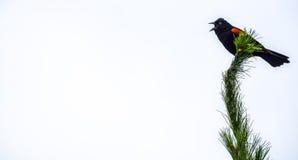 blackbird czerwony skrzydlaty stwór Zdjęcia Stock