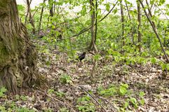 Blackbird in a deciduous forest in spring royalty free stock photos