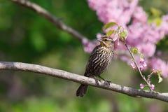 blackbird dess looksredwingsida till Royaltyfri Foto