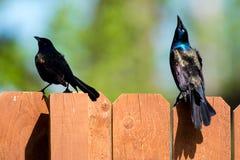 Blackbird Disagreement Royalty Free Stock Photo