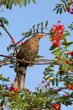 A blackbird is eating. A berry Royalty Free Stock Photos
