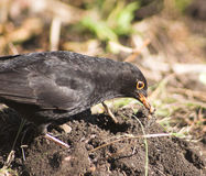 Blackbird eating Stock Image