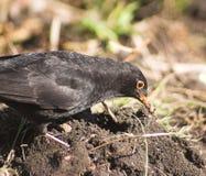 Blackbird eating stock image