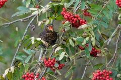 Blackbird eating berries Royalty Free Stock Images