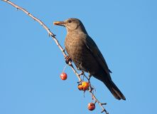 A blackbird eating fruits in an apple tree Stock Photos