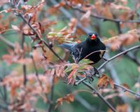 Blackbird eating red berries. Adult male blackbird perched on a tree with a red berry in his beak royalty free stock image
