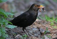 Blackbird eating worm Stock Image