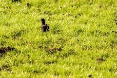 Blackbird Eating A Worm Stock Photo