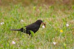 Blackbird eating worms Royalty Free Stock Photo