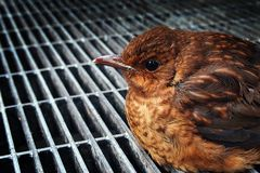 Blackbird fallen from the nest Royalty Free Stock Image