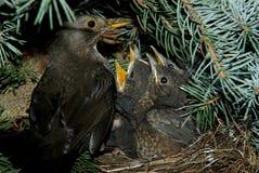 Blackbird family. Blackbird caring about its chicks Stock Photography