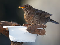 Blackbird on feeder Royalty Free Stock Images