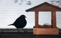 Blackbird Stock Photography