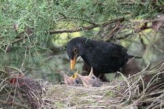Blackbird feeding. A blackbird feeding little birds in their nest Stock Images