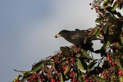 Blackbird feeding on red berries. During winter in Fife, Scotland stock image