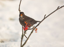 Blackbird feeding on Rowan berry Royalty Free Stock Photography