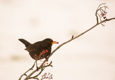 Blackbird feeding on Rowan berry Stock Image