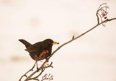 Blackbird feeding on Rowan berry Stock Image