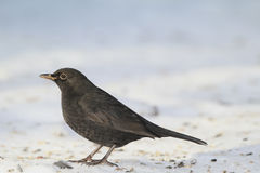 Blackbird - female Stock Image