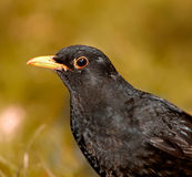 Blackbird - female Royalty Free Stock Photos