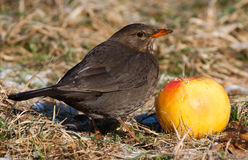 Blackbird female Royalty Free Stock Photos