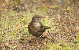 Blackbird female on the grass. A blackbird female on the grass Royalty Free Stock Photo