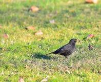 Blackbird female latch on the lawn Stock Photography