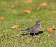 Blackbird female on the lawn Stock Photos