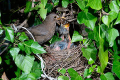 Blackbird female at nest feeding chicks Stock Images