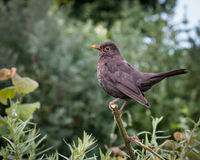 Blackbird. Female blackbird perched on a branch Stock Image