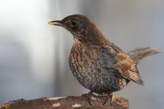 Blackbird female portrait Royalty Free Stock Photos