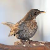 Blackbird female portrait close up Stock Images