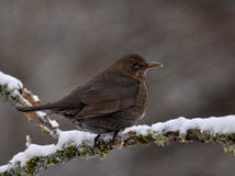 Blackbird female on snowy branch Stock Photos