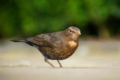 Blackbird female Stock Photo