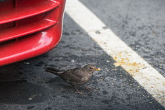 Blackbird. Female blackbird that you are settling in the city context Stock Image