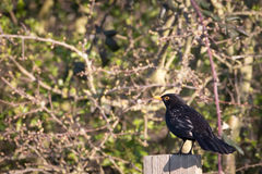 Blackbird on fence. Blackbird perched on a pillar of a wooden fence with bush in the background royalty free stock photos