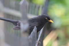 Blackbird on a fence. A blackbird in profile sits on a black fence Stock Photo