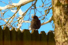 Blackbird on the fence stock photo