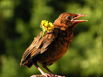 Blackbird with flower. Singing in a garden. Singing a serenade royalty free stock photography