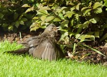 Blackbird sunning itself. This blackbird fluffs itself up and spreads it`s wings catching the early morning sunshine. We all love a bit of sun as it does so much stock image