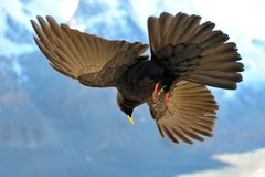 Blackbird flying Royalty Free Stock Photos