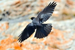 Blackbird flying Royalty Free Stock Photography