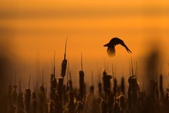 Blackbird flying. Silhouette among the cattails Royalty Free Stock Photos