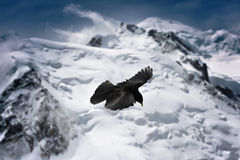 Blackbird flying in mountains. French Alps, Chamonix area Royalty Free Stock Photo