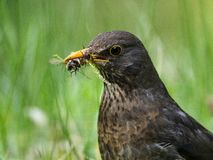 Blackbird with a food Royalty Free Stock Image