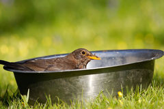 Blackbird in food bowl Royalty Free Stock Images