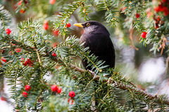 Blackbird foraging on red berries. In autumn sitting perched on the branch of a tree keeping an alert lookout for predators Stock Photography