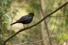 Blackbird. In a forest near Kutna Hora Stock Photo