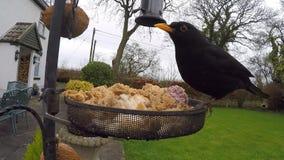 Blackbird - Garden Bird Feeder. Blackbird at a garden bird feeder in winter - United Kingdom stock footage
