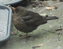 Blackbird in garden Royalty Free Stock Photos